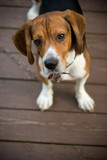 A cute beagle puppy with a curious look on his face. poster