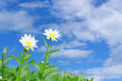 canvas print picture daisies in a field against cloudy background