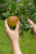 Apfel - apple 21