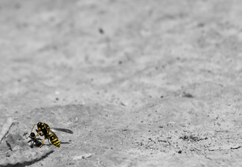 A wasp attacking and killing an ant Part 2
