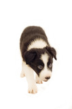 Pedigree Border Collie Pup poster