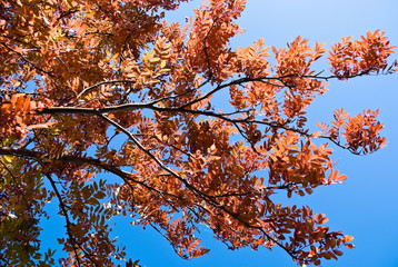 autumn leafs of rowanberry on background blue sky