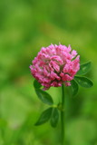 Beautiful blooming clover on green grass