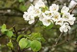 White blooming pear tree