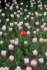 one red tulip amongst field of pink tulip