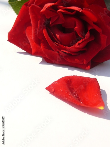 P tale de rose by phil good royalty free stock photos 9605937 on - Petale de rose comestible ...