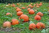 Pumpkins in a pumpkin patch in New York poster
