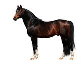 trakehner stallion - isolated on white poster