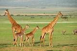 Giraffes herd with foals