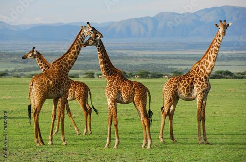 Fotobehang Giraffe Giraffes herd in savannah