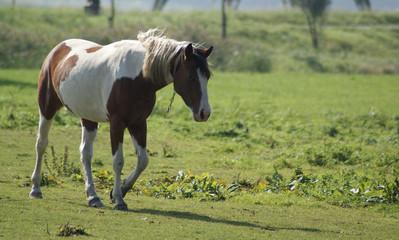 Nice tinkerhorse walking