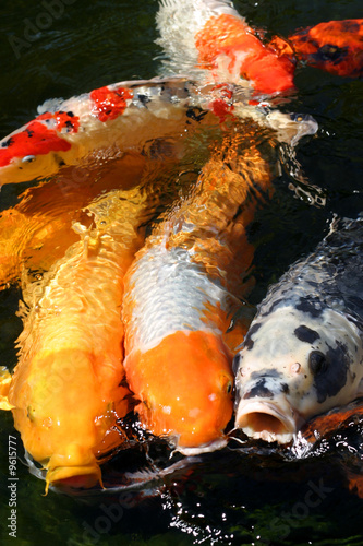KOI FISH FEEDING FRENZY