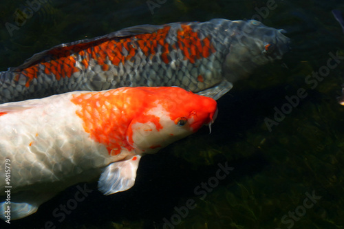 Koi fish swimming together