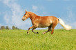 beautiful horse galloping through the field