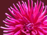 Fototapeta dalia - dalia - Kwiat