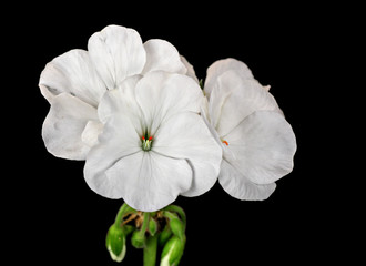 White geranium flowers isolated on black background