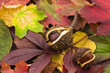 Fallen chestnuts on colorful foliage