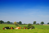 Young dairy cattle in a green field poster