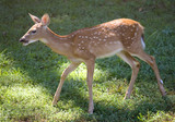 whitetail deer fawn out for a summer stroll poster