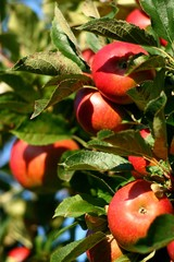 Pommes rubis