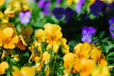 Close capture of vibrant yellow and purple pansy flowers poster
