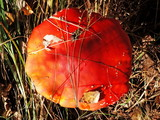 Grows in the coniferous and leafy forests. Poisonous. poster