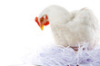 Photo of hen sitting in artificial nest over white background