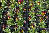 mixed winter pansies in plastic trays. nursery/ florist products poster