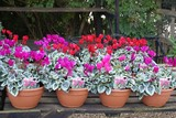 cyclamen in plant pots. florist or nursery products for sale. poster