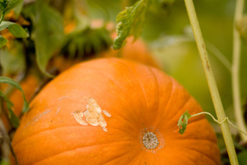 Close-up of a pumpkin