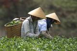 Teepflückerinnen auf einer Teeplantage