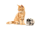 A yellow kitten sits next to a fake human skull poster