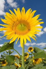 amazing sunflower and blue sky background