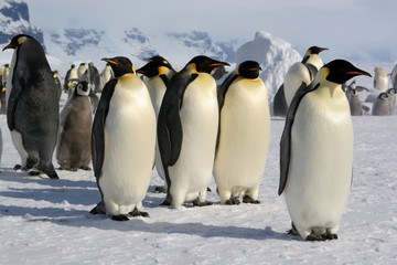 Emperor penguin - Coulmann Island (Antarctic)