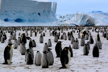 Colony emperor penguins (Antarctic)