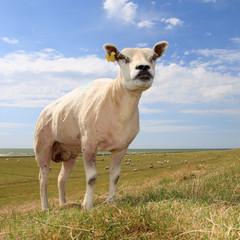 single sheep in field, against blue sky