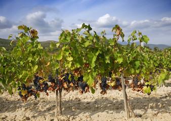 Vineyard in september