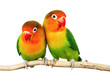 canvas print picture - Pair of lovebirds agapornis-fischeri isolated on white