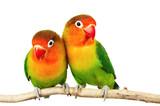 Pair of lovebirds agapornis-fischeri isolated on white - Fine Art prints