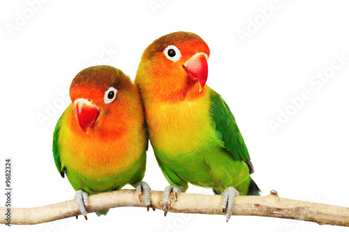 Fotobehang Papegaai Pair of lovebirds agapornis-fischeri isolated on white
