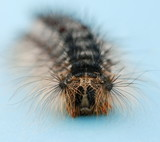 Caterpillar of the gypsy moth