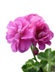 géranium fleur double