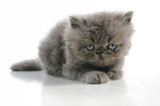 Portrait of small persian cat isolated over white poster