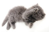 Detail of funny persian kitten isolated over white poster