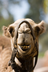 Closeup of Camel with Open Mouth