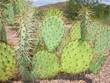 Cactus of Opuntia Genus