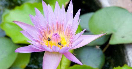 Lotus d'Asie