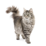 Fototapety Crossbreed Siberian cat in front of a white background