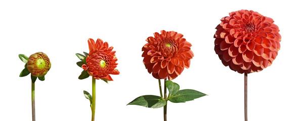 épanouissement fleur de dahlia