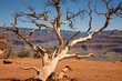 Ghost tree im Grand Canyon